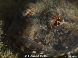 Gown up Enophrys Bubalis by Eduard Bello
