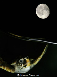 Turtle at night.  Double exposure in the camera, witho... by Marco Caraceni