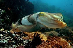 Cuttlefish at Yellow wall,, Nusa Kode, Indonesia. 2005 by Chris Wildblood