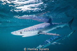 The Blues are Back by Henley Spiers