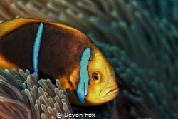 The Orange-Fin Anemonefish (Amphiprion chrysopterus) is o... by Devon Fox
