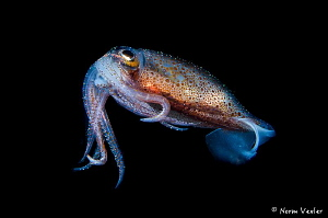 Blackwater photo of Reef Squid in Anilao, Philippines by Norm Vexler
