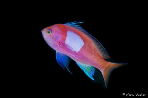 Squarespot Anthias in Anilao by Norm Vexler