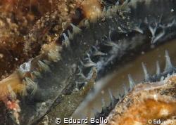 Always around, oyster by Eduard Bello
