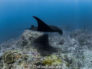 Clandestine  Manta Ray - Manta alfredi  Manta Point, ... by Stefan Follows