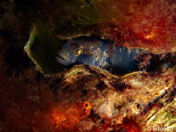 Zwarte grondel, gobius negre with nest by Eduard Bello