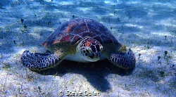 """""""Hey Dude"""". This was the first Sea Turtle I ever encounte... by Steve Dolan"""