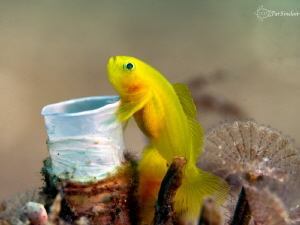 """""""I love my Tubeworm home!!!"""" Yellow goby *his mate is be... by Patricia Sinclair"""