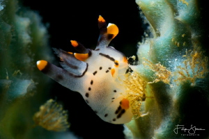Thecacera picta by Filip Staes