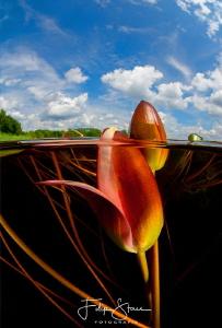 Waterlilies, Turnhout, Belgium by Filip Staes