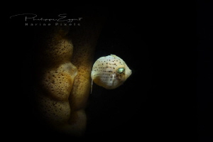 Juvenile file fish by Philippe Eggert