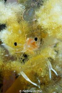 Ghost shrimp by Ferdinando Meli