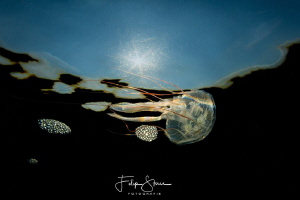 Juvenile Compass jellyfish (Chrysaora hysoscella), Zeelan... by Filip Staes