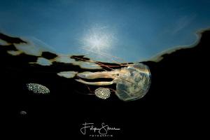 Juvenile Compass jellyfish (Chrysaora hysoscella), Zeelan... by Filip Staes