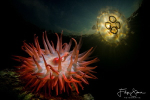 Beadlet anemone (Actinia equina) and moon jellyfish (Aure... by Filip Staes