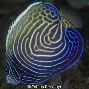 Juvenile Emperor Angelfish by Tobias Reitmayr