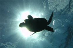 A turtle swimming in the sun. Tormentos, Cozumel. Canon S... by Paul Holota