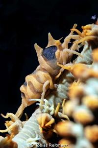 Whip coral shrimp by Tobias Reitmayr