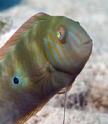 Green Razorfish from Little Cayman. Nikon D100 with 60mm ... by Jim Chambers