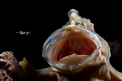 It's a common frogfish. Opening the mouth. Roaring! by Qunyi Zhang