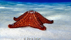 Cushion Sea Star in the Berry Islands by Steve Dolan