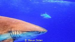 Caribbean Reef Shark. In the Bahamas south of Nassau. (A ... by Steve Dolan