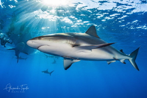 Caribean Reef Shark and Sun Rays, Gardens of the Queen by Alejandro Topete