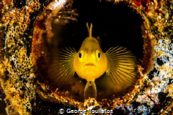 Yellow Goby by George Touliatos
