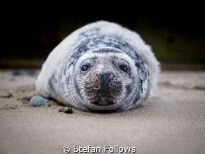 Missing Words  Grey Seal (pup) - Halichoerus grypus  ... by Stefan Follows