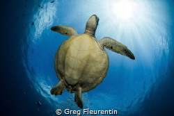 Flying turtle in the sun. Green turtle from Moorea, fren... by Greg Fleurentin