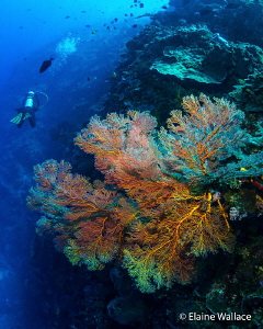 Celebrating our coral reefs - fragile, vital for our plan... by Elaine Wallace