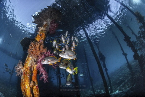 Fishes Beneath Aborek Jetty by Wayne Jones