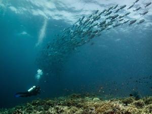 tubbataha bigfish by Marc Van Den Broeck