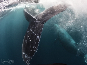 That moment when you are so close to a humpback whale you... by Gemma Dry