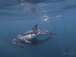Common Dolphins playing with me after they finished with ... by Gemma Dry