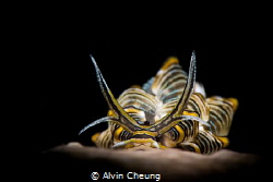 Portrait of a butterfly nudibranch by Alvin Cheung