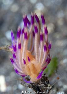 Flabellina Nudibranch by Tobias Reitmayr