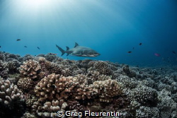 The reef and the Shark The healthy reef of Moorea and it... by Greg Fleurentin