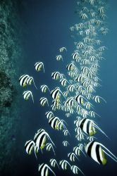 Schooling Bannerfish, Maldives, 2005. by Chris Wildblood