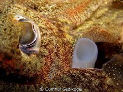 Sepia officinalis Eye & Siphon by Cumhur Gedikoglu