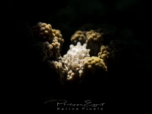 Cowrie on a coral... snooted hand held torch by Philippe Eggert