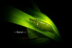 Shot in Anilao, Philippines. A green shrimp on a green gr... by Qunyi Zhang