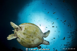 Turtle on deep Blue by Caner Candemir