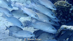 """Safety in numbers"" A grroup of Gray Snapper in the Baham... by Steve Dolan"