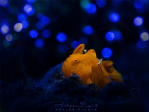 I want to be a rock star! Frogfish with artificial backg... by Philippe Eggert