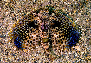 Yes...this really is a fish!  Flying Gurnard in Anilao. by Norm Vexler