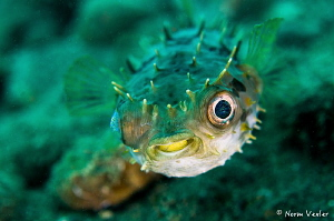"""Here's looking at you kid""...Orbicular Burrfish in Anilao by Norm Vexler"