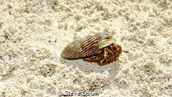 Hermit Crab walking down the beach in the Berry Islands u... by Steve Dolan
