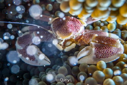 A spotted crab in the coral. Half of the body in cold blu... by Qunyi Zhang