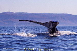 Humpback whale during sardine run 2018 by Peet J Van Eeden